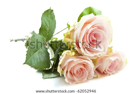 Beautiful pink roses isolated on a white background - stock photo