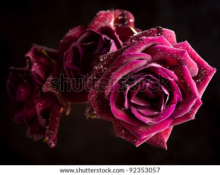 Beautiful Pink Roses isolated on Black - stock photo
