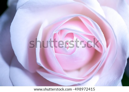 Beautiful pink roses on a soft background with shallow depth of field and focus the centre of rose flower