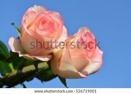Beautiful pink roses on sky background