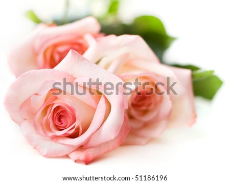 beautiful pink roses on white - stock photo