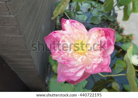 beautiful pink Sacred Lotus flower in the pond - stock photo