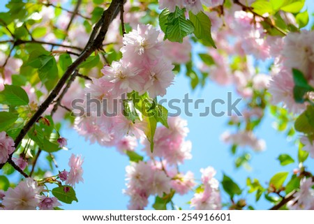 Beautiful Pink Sakura Flowers. Spring Background - stock photo