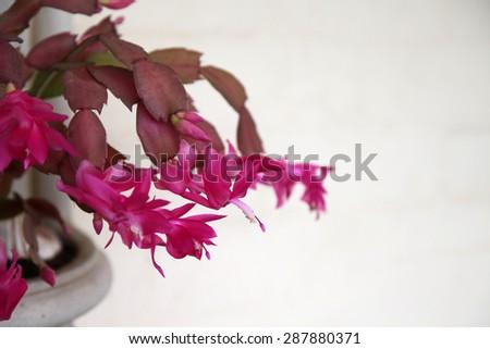 Beautiful pink Schlumbergera truncata, commonly known as Christmas Cactus - stock photo