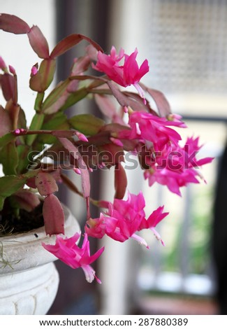 Beautiful pink Schlumbergera truncata, commonly known as Christmas Cactus