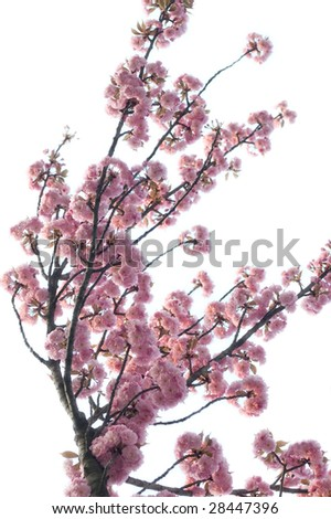 Beautiful pink spring blossom background - stock photo
