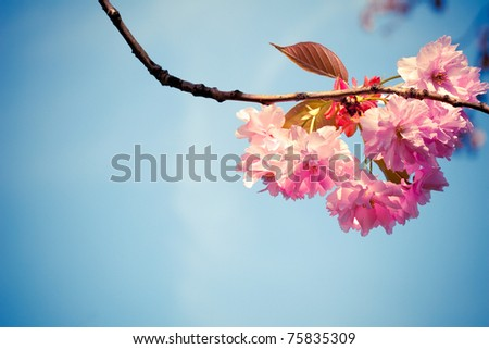 Beautiful pink spring flowers (Prunus triloba) on blue sky background - stock photo