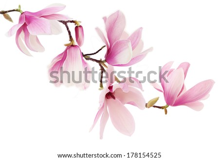 Beautiful pink spring magnolia flowers on a tree branch isolated on white - stock photo