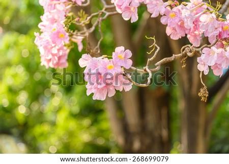Beautiful Pink Trumpet flower or Tabebuia heterophylla - stock photo