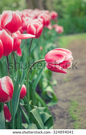 Beautiful pink tulip on a flower field, in Netherlands - stock photo