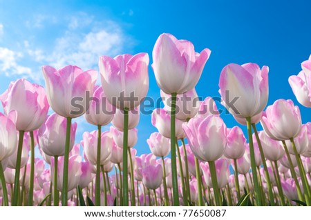 beautiful pink tulips against blue sky in the Noordoostpolder, netherlands - stock photo