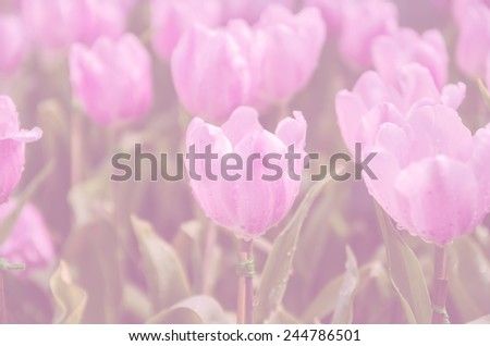 beautiful pink  tulips flower with color filter - stock photo