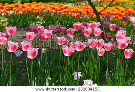 Beautiful pink tulips in the garden morning light, colorful flowers, horizontal image - stock photo