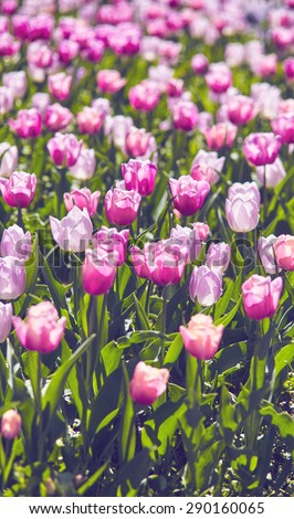 Beautiful pink tulips in the spring time - stock photo