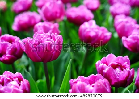 Beautiful pink tulips in tulips field at the middle of spring.