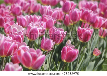Beautiful pink tulips on a field in spring day.