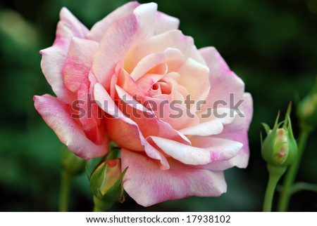 Beautiful pink variegated rose with rosebuds.  Close-up with shallow dof. - stock photo
