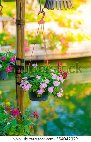 beautiful pink vinca flowers(madagascar periwinkle) in Hanging flower pot - stock photo