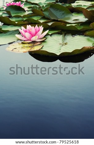 Beautiful pink water lilly - stock photo