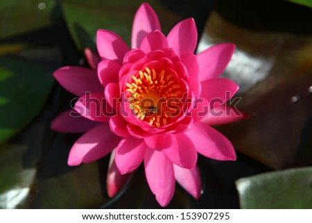 Beautiful pink water lilly flower