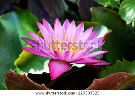 Beautiful pink water lily blooming in the lake - stock photo