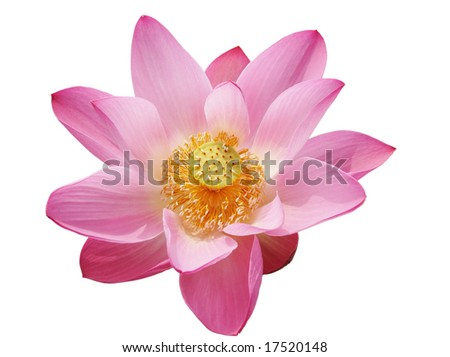 beautiful pink water lily, isolated on white background. - stock photo