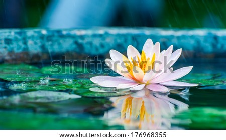 beautiful pink waterlily or lotus flower in a pond with rain drop - stock photo