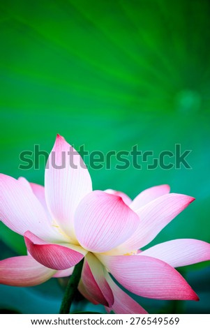 beautiful pink waterlily or lotus flower in pond for adv or others purpose use - stock photo