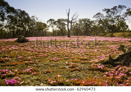 Beautiful pink wildflowers in hot conditions in remote Australia