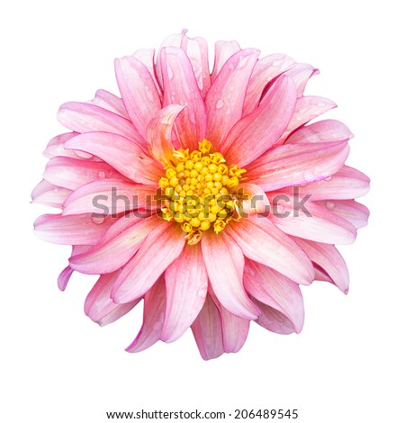 Beautiful pink zinnia flower with water drop isolated on white background. Save with path.