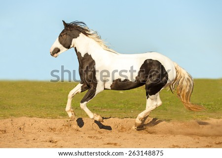 Beautiful pinto horse running free in summer meadow. - stock photo