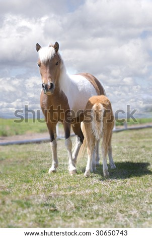 Beautiful pinto miniature horse mare and her nursing foal in a field against cloudy skies. - stock photo