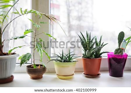 Beautiful plants  in flowerpots on windowsill at home. - stock photo