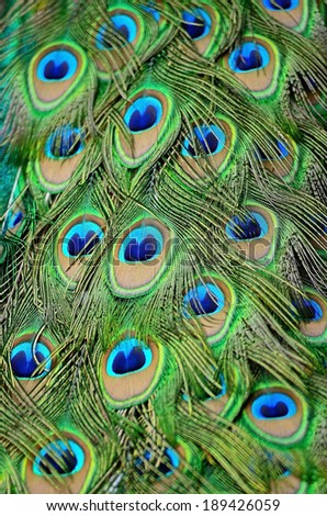 Beautiful plumage of male Green Peafowl feathers background