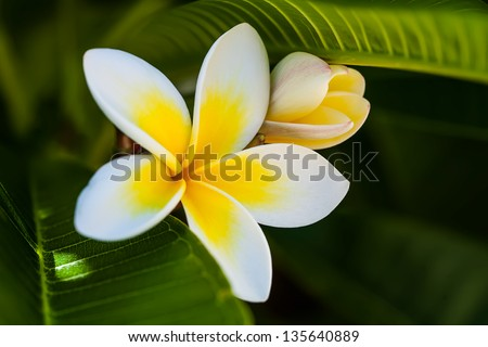 beautiful plumeria flower and blossom in the frangipani tree