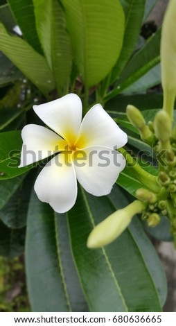 beautiful plumeria flower (leelawadee) and blossom in the frangipani tree