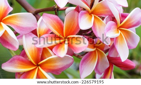 beautiful plumeria flower on tree