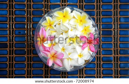 "Beautiful Plumeria flowers ""Frangipani"" in a bowl of water on a blue tile background."