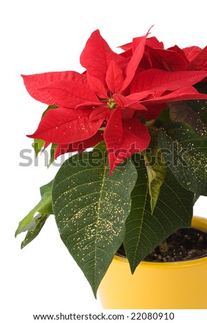 Beautiful Poinsettia - Christmas Star - in yellow flowerpot