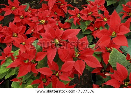 Beautiful Poinsettia for sale at a flower shop