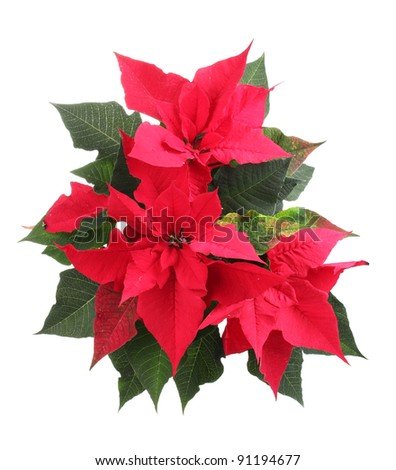Beautiful poinsettia isolated on white