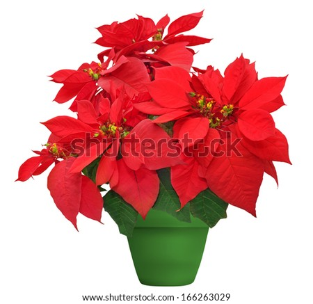 beautiful poinsettia. red christmas flower in green flowerpot on white background - stock photo