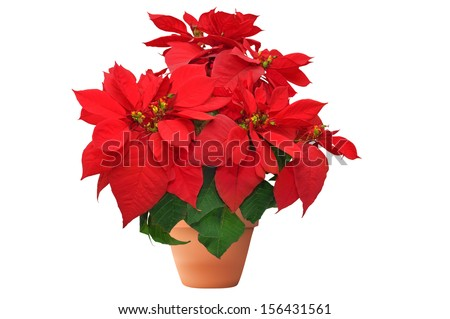 beautiful poinsettia. red christmas flower on white background  - stock photo