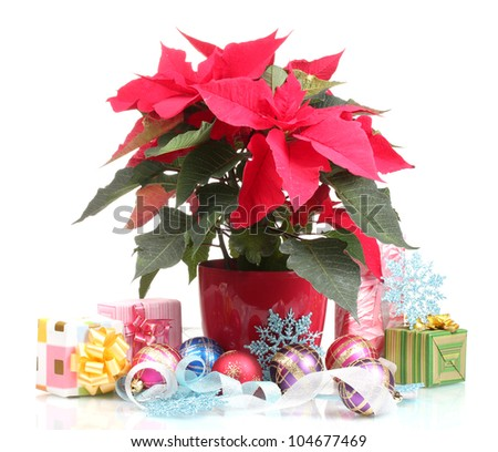 Beautiful poinsettia with christmas balls and presents isolated on white - stock photo
