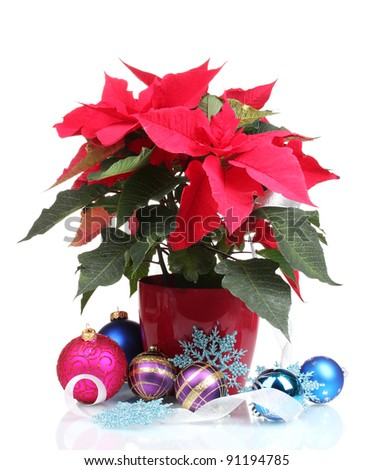 Beautiful poinsettia with christmas balls  isolated on white - stock photo