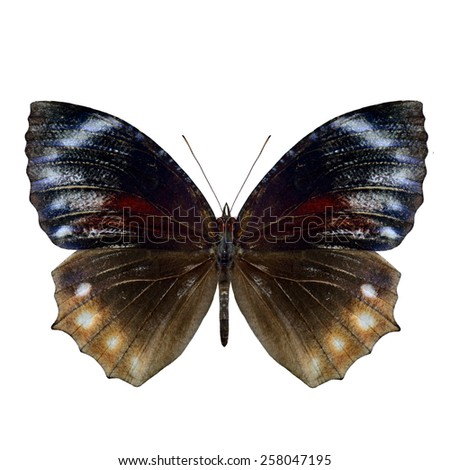 Beautiful Pointed Palmfly butterfly upper wing in natural color profile isolated on white background - stock photo
