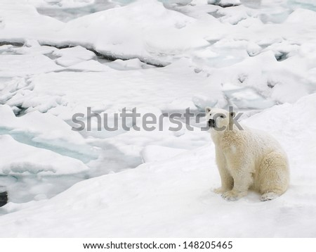 Beautiful polar bear on the ice pack on a snowy day   - stock photo