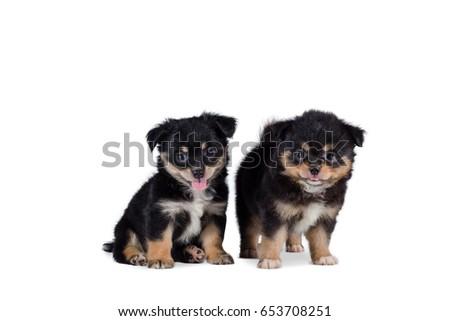 Beautiful Pomeranian Mix Chihuahua Puppy Isolated Stock Photo