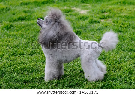 beautiful poodle posing at a dog show