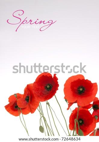Beautiful Poppies - stock photo